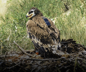 Степной орел меняет стиль жизни – но остается под защитой благодаря вам! 15 апреля 2021