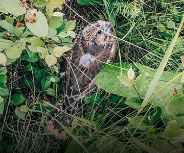 Чудо в перьях: приемные соколята обрели родной дом 28 июня 2021